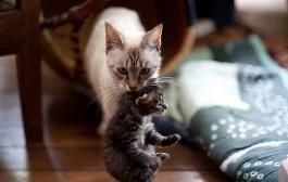 لماذا تحمل القطة صغارها من مؤخرة الرقبة